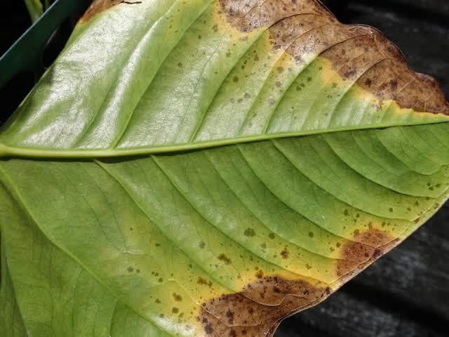 Bitkide yaprak yanması