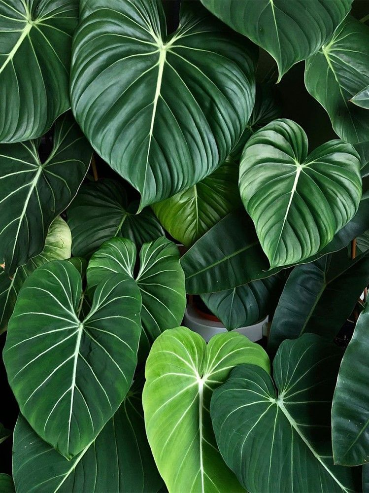 Philodendron Bitkisi