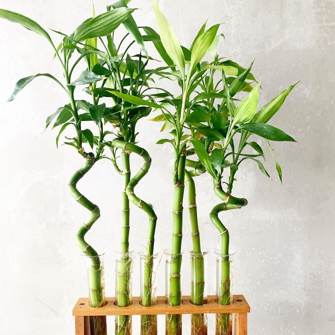 Bamboo Bitkisi Bakımı
