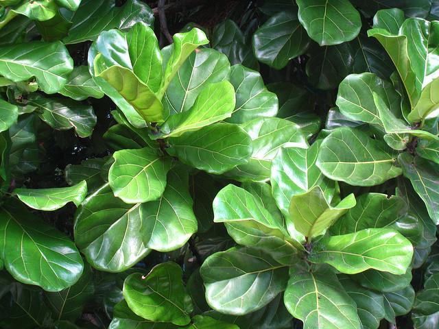 Ficus Lyrata Keman Yapraklı İncir
