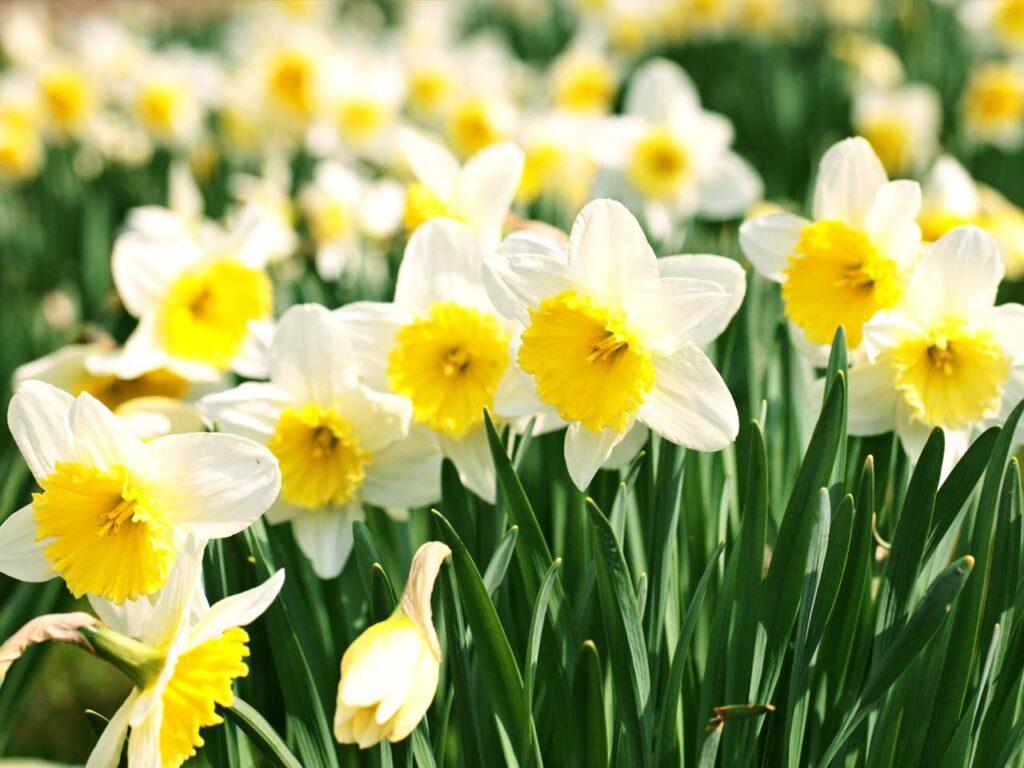 Nergis Bitkisi Çiçeği