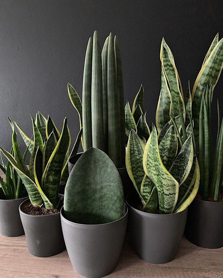 Sanseveria Bitki Çeşitleri