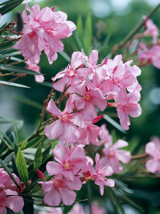 Zakkum Bitkisi Çiçeği