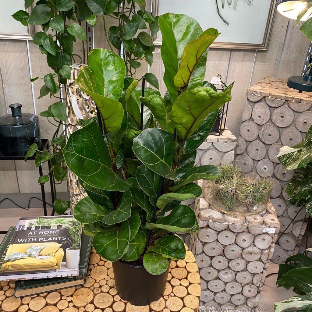 Ficus Lyrata - Keman Yapraklı İncir - Bitki Bakım Kartı