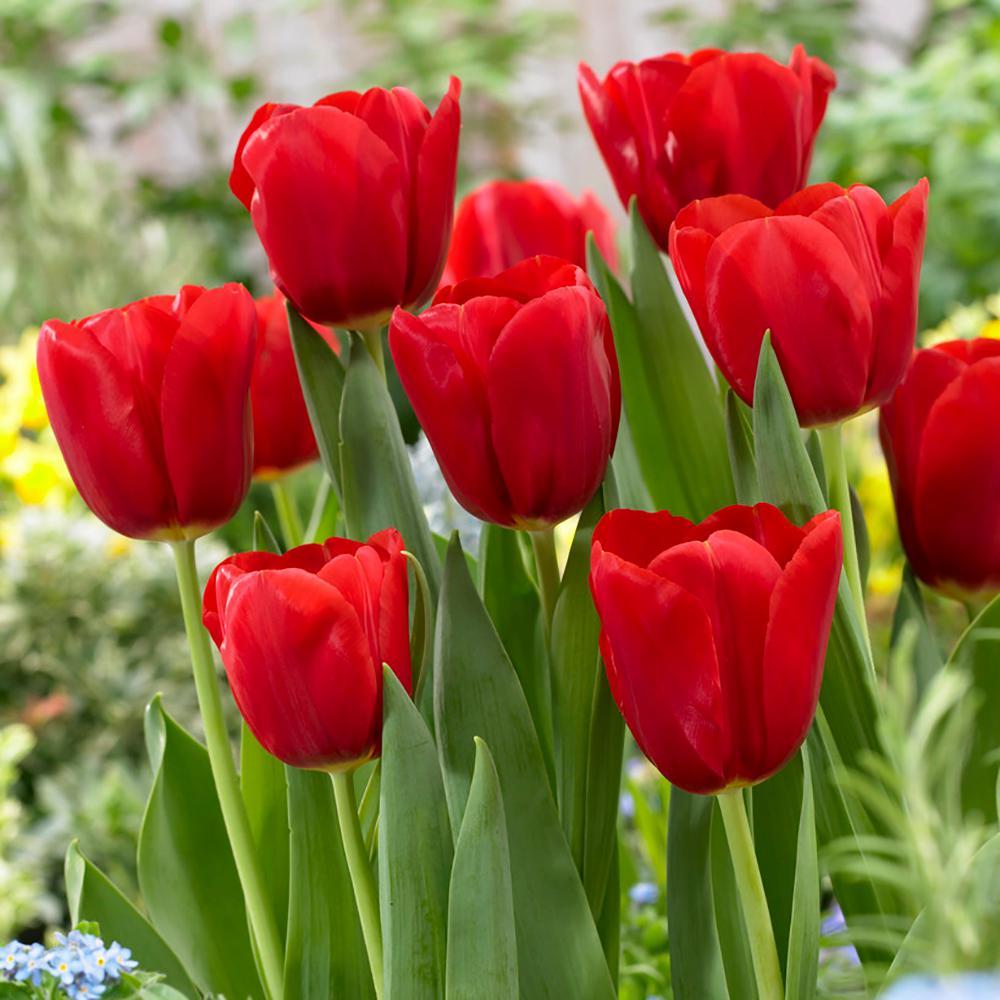 Lale Bitkisi Çiçeği