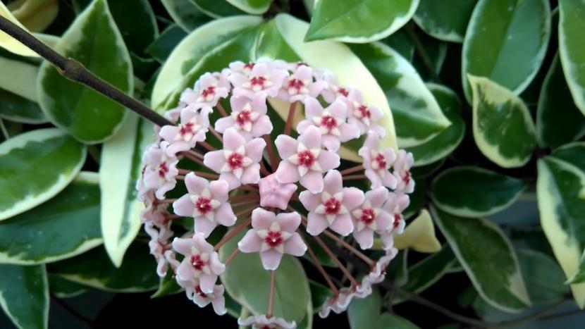 Hoya Carnosa - Mum Çiçeği Bitkisi