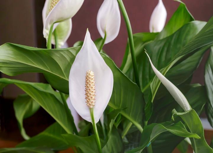 Barış Zambağı Çiçeği