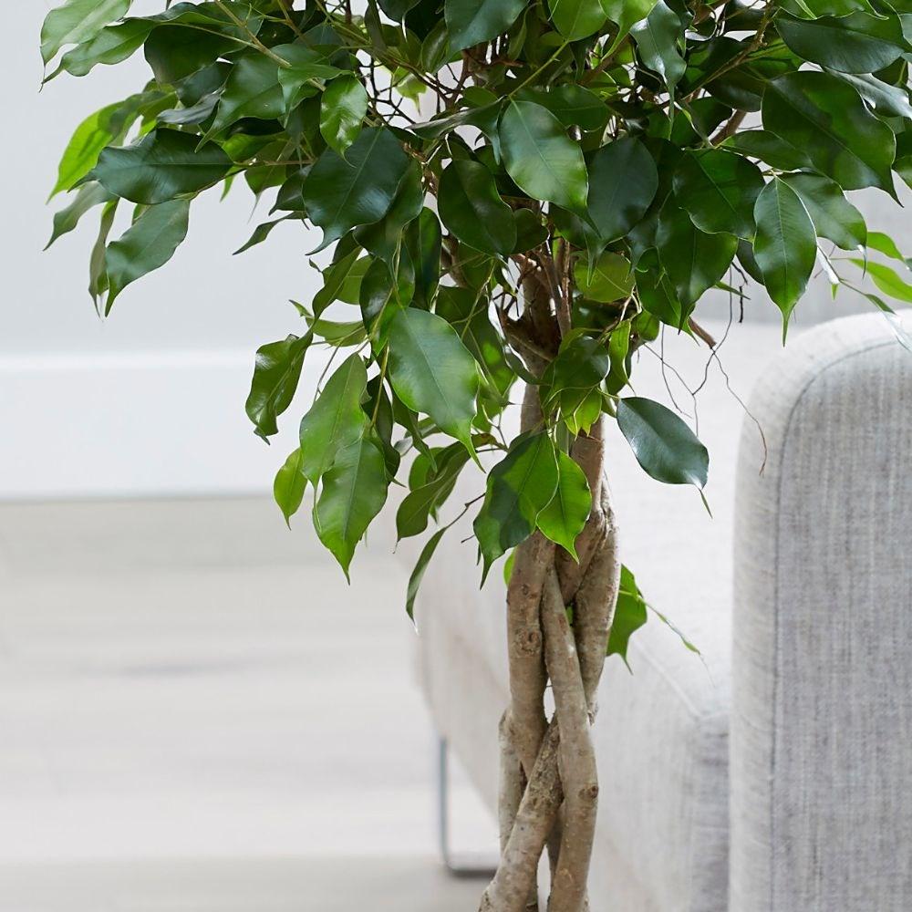 Ficus Benjamina - Ağlayan İncir Bitkisi