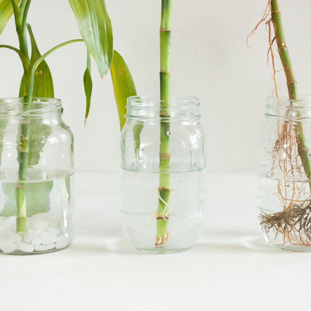 Suda Bambu kamışlarını köklendirme yöntemi