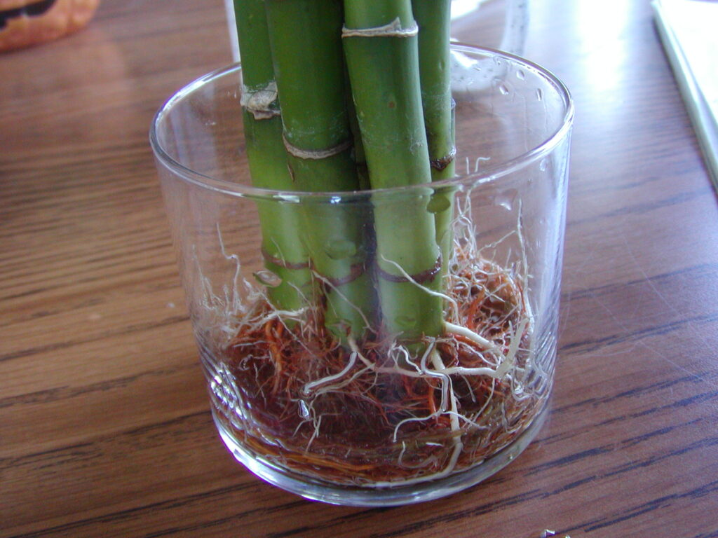 Bambu Bitkisi Saptan Suda Köklendirme