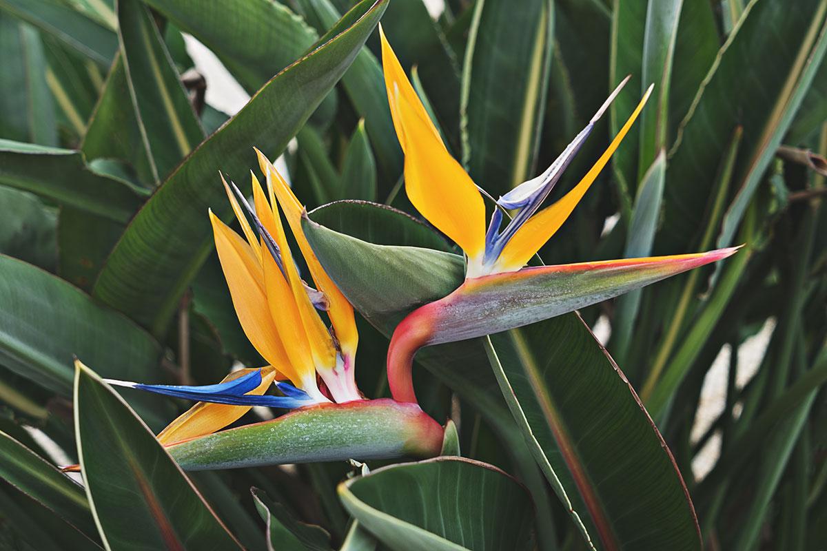 Cennet Kuşu Bitkisi