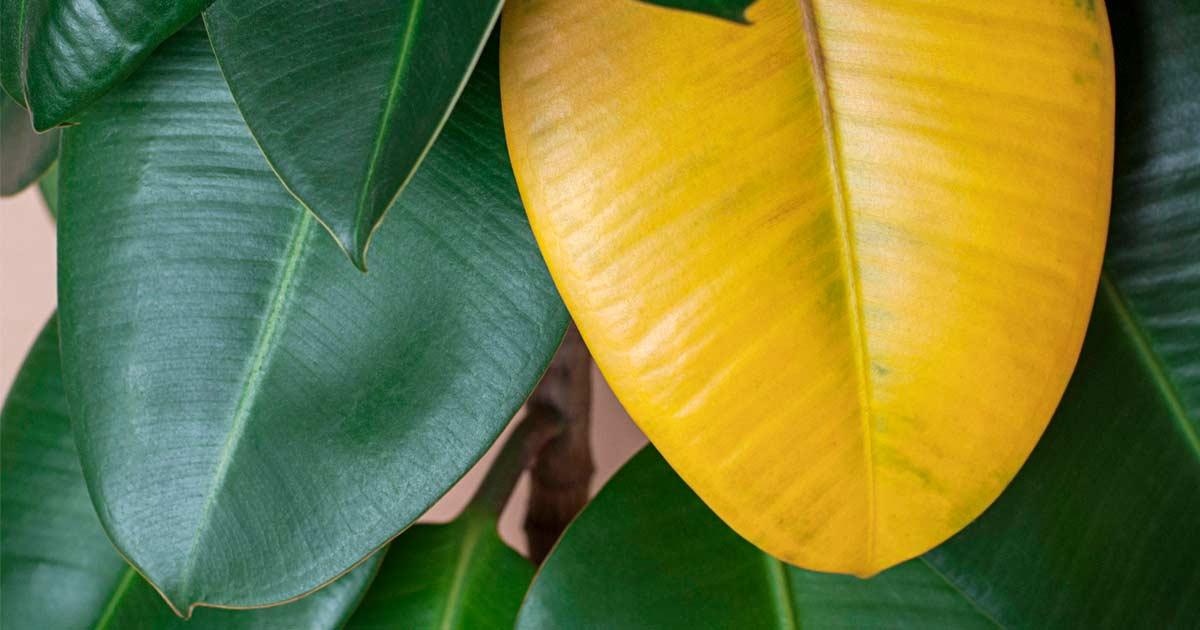 Sararan Bitki Yaprağı Sorunları