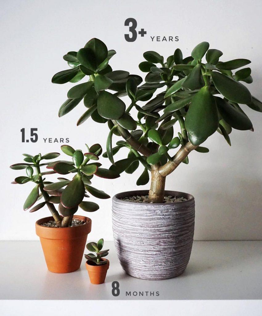 Crassula bitkisi yaşına göre boyutları